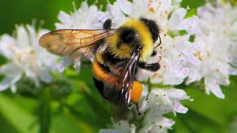 Bees make the Endangered Species list- by J-1 Correspondent Dimitrius Gomes
